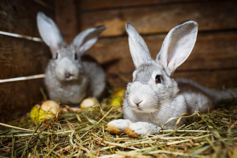 double rabbit hutch
