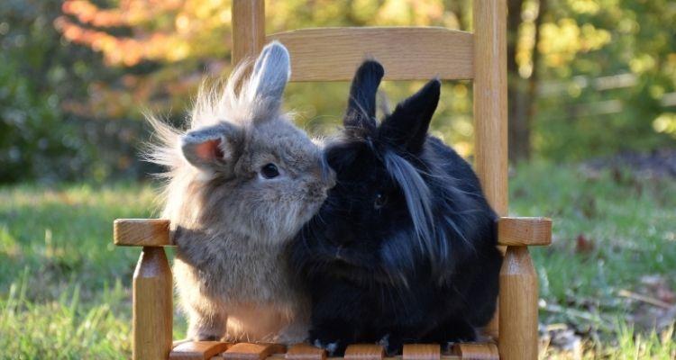 rabbit molting
