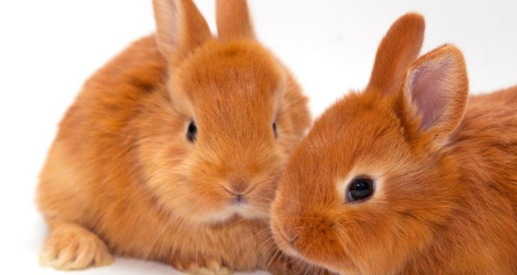 are rabbits rodents