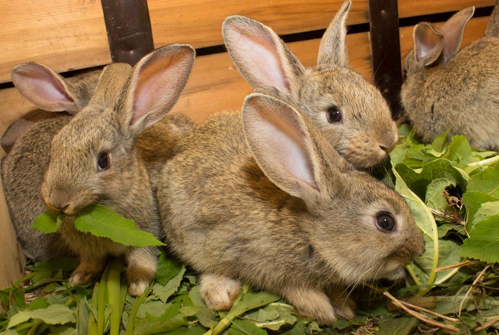 arugula for rabbits