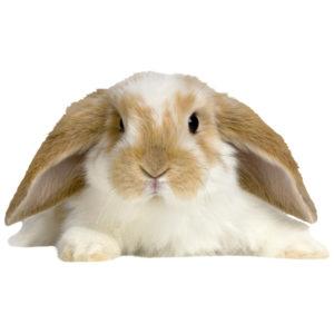 lop eared rabbit hutch