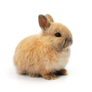 netherland dwarf rabbit hutch